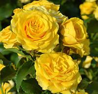 Саженцы роз Золотые ворота (плетистая желтая)