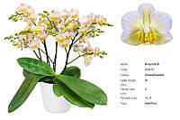 Уценка Подростки орхидеи. Сорт Burgundy