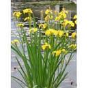 Ирис аировидный махровый (Iris pseudacorus)., фото 2