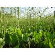 Частуха подорожниковая (Alisma parviflora)