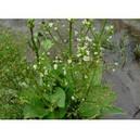 Частуха подорожниковая (Alisma parviflora), фото 3
