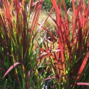 Императа цилиндрическая Ред Барон (Imperata cylindrica Red Baron)