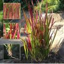 Императа цилиндрическая Ред Барон (Imperata cylindrica Red Baron), фото 2