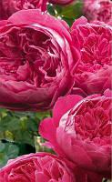 Роза английская плетистая Сладкий поцелуй (Sweet Kiss)
