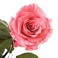 Три долгосвежих розы Розовый Кварц в подарочной упаковке, фото 2