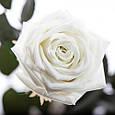 Три долгосвежие розы Белый Бриллиант в подарочной упаковке, фото 2