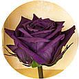 Долгосвежая роза Королевская в подарочной упаковке, фото 3