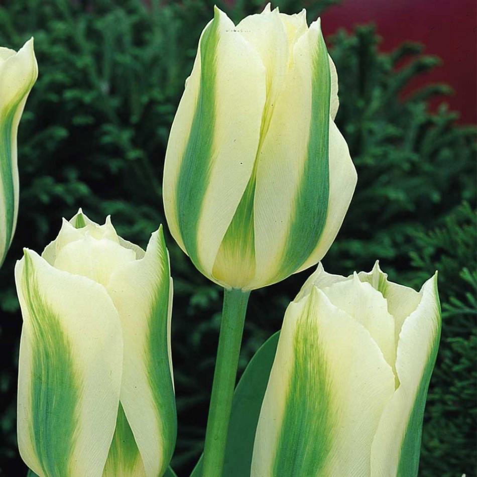 Луковицы тюльпанов виридифлора Spring Green 3 шт
