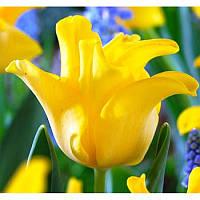 Луковицы тюльпанов волнистых Yellow Crown 3 шт