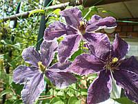 Клематис крупно цветковый, Каменный цветок, С2