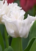 Луковицы тюльпанов волнистых White Liberstar 3 шт