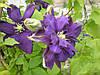 Клематис крупно цветковый, Синее Пламя, С2
