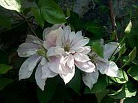 Клематис крупно цветковый, Принцесса Александра, С2