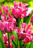Луковицы тюльпанов волнистых  Picture 3 шт