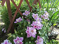 Клематис крупно цветковый, Пиилу, С2, фото 1