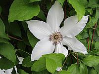 Клематис крупно цветковый, Миссис Батеман, С2