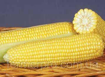 Семена кукурузы  GSS 8529  F1 100.000 семян Syngenta