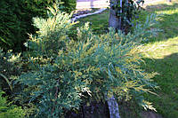 Можжевельник средний Blue and Gold / Juniperus pfitzeriana Blue and Gold