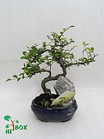 Дерево бонсай на скале. Синий горшок