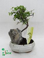 Дерево бонсай на скале. Белый горшок