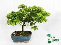 Дерево Бонсай Клен