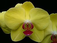 "Орхидеи размер 2.5"". Сорт Golden Star, фото 1"