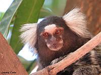 Белоухая игрунка (callithrix aurita) домашнего разведения-карликовая обезьянка