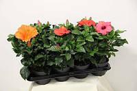Розсада Гібіскус (Китайська троянда) мікс, d-14 см Рассада Гибискус (Китайская роза)
