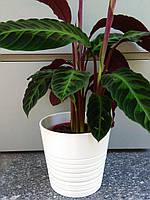 Калатея (декоративное растение)