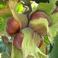 Саженцы фундука (лесного ореха), питомник - сорт На Медвежьей Лещине