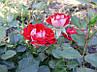 "Роза бордюрная ""Мейди"" / Патио / Флорибунда / Премиум Качество, фото 5"