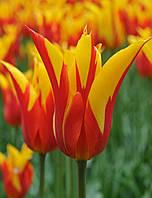 Луковицы тюльпанов лилиевидных  Synaede King 3 шт