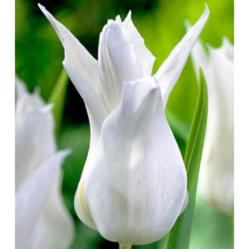 Луковицы тюльпанов лилиевидных  Tres Chic 3 шт