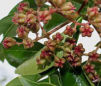 Эводия Даниэля или Пчелиное Дерево