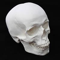 Модель черепа человека из гипса, для декорации интерьера, белого цвета, в натуральную величину