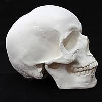 Модель черепа из гипса, декоративный, белого цвета, в натуральную величину