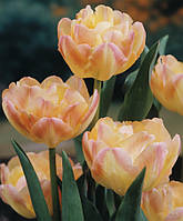 Луковицы тюльпанов махровых Creme Upstar 3 шт