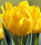 Луковицы тюльпанов махровых Montе Carlo 3 шт, фото 2