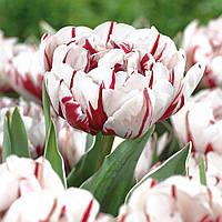 Луковицы тюльпанов махровых Carnaval de Nice 3 шт
