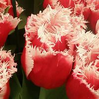 Луковицы тюльпанов махровых +бахромчатых New Santa 3 шт