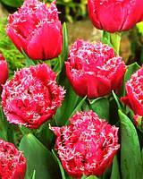 Луковицы тюльпанов махровых +бахромчатых Matchpoint 3 шт