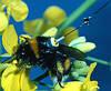 Пчела-шпион