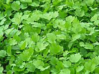КАРИБЕ / CARIBE - Кориандр (кинза), Bejo, 50 грамм семян