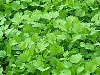 КАРИБЕ / CARIBE - Кориандр (кинза), Bejo, 500 грамм семян