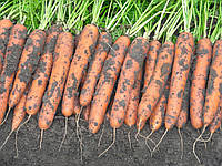 НИЛАНД F1 / NILAND F1 - морковь, Bejo 100 000 семян 1,8-2,0