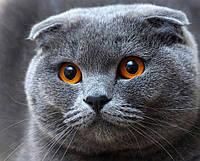 """Набор алмазной вышивки """"Вислоухий кот"""""""
