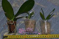 Что такое подростки орхидей? Всё, что необходимо знать ДО оформления заказа.