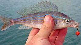 """Красивая крымская рыбка на красный груз """"Чебурашка"""". Фото Федоренко Виталия."""