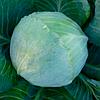 Семена капусты б/к KS 60 F1 2500 семян Kitano