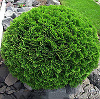 Туя Западная Danica / Thuja occidentalis Danica